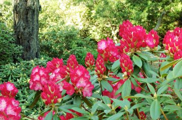Rhododendrons beginning to bloom
