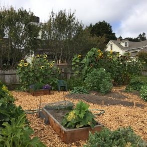 The vegetable garden with planters, mulch and plants ranging from sunflowers to herbs